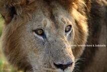 LION_93_C